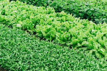 légume à semer en automne