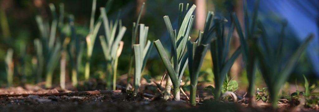 5 légumes à semer avant l'automne - Soleil et Jardin